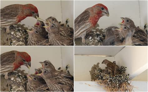house finch babies dipper ranch first flight of the humble house finch