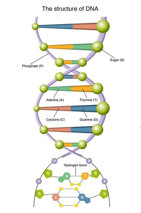 diagram and label a section of dna diagram of dna to print diagram site
