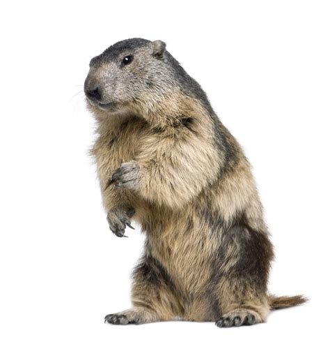 groundhog day up groundhog standing up