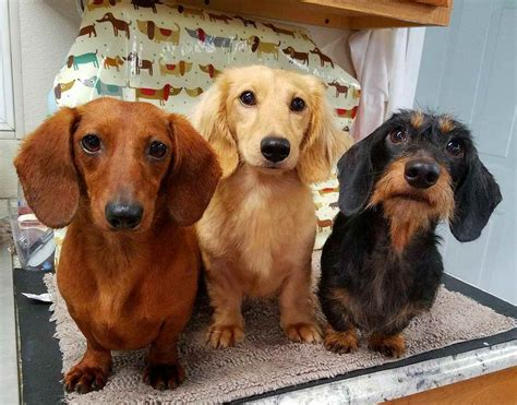 dachshund colors dachshund colors pets and dogs