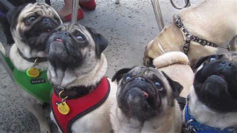 wisconsin pug rescue pug rescue dinner