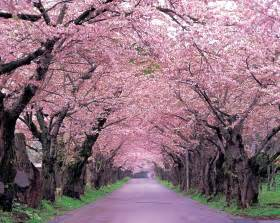 Japanese Cherry Blossom Tree 动漫樱花唯美图片 171 搜索结果 171 天天图片网