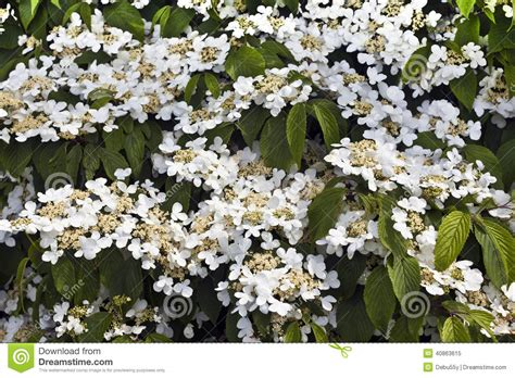 white flowering shrub stock photo image 40863615