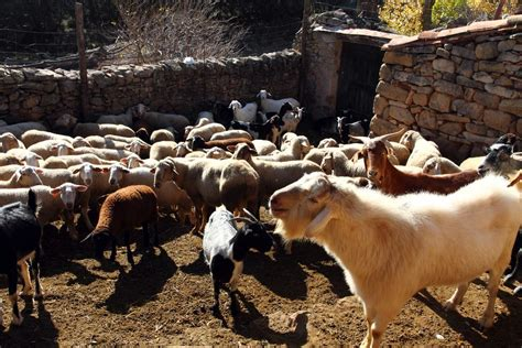 Backyard Cattle Raising by How To Raise Goats In Your Backyard Raising Goats For