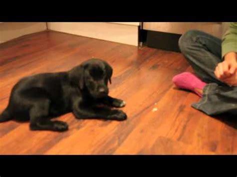 puppy week at home 7 week black labrador puppy s day at home funnydog tv