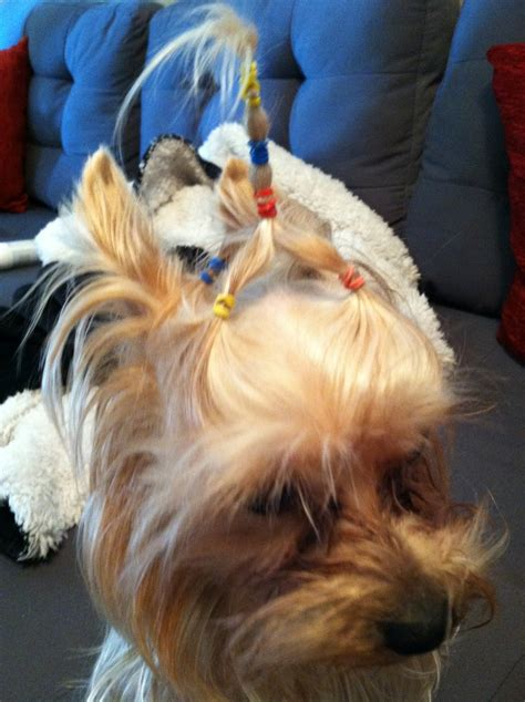 mohawk style for yorkie yorkie with mohawk haircut mohawk style for yorkie