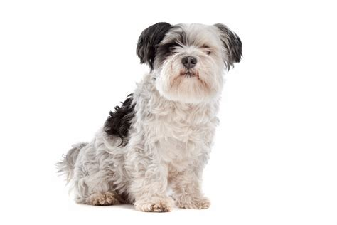 shih tzu intelligence list of the best dogs to own for time pup parents