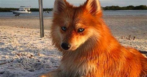 dogs that look like dogs that look like foxes no further a mystery