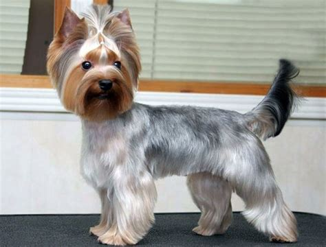 types of yorkie haircuts yorkie haircuts pictures and select the best style for