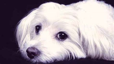 cataracts in dogs cataracts symptoms in dogs petcarerx hairstyles