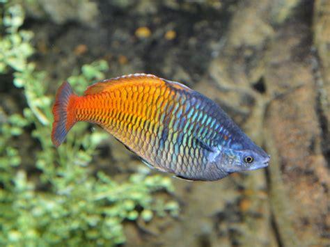 Batu Lava Aquascape the zoo boeseman s rainbowfish