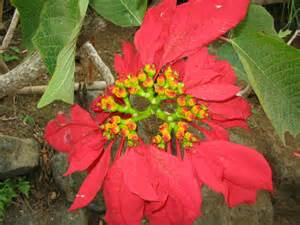 une fleur typique de madagascar 183 la vie d ici et d