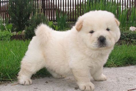 chow puppies chow chow puppies for sale bazar