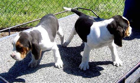 treeing walker coonhound puppies usa puppy pictures