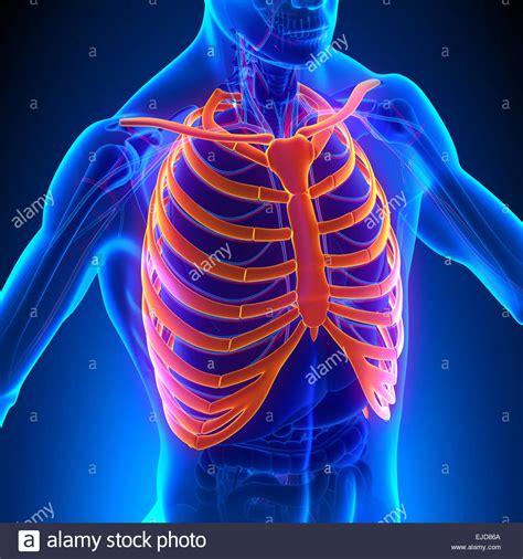 gabbia toracica ossa gabbia toracica anatomia ossa con sistema circolatorio