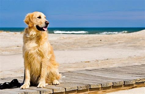 how often do golden retrievers need to be groomed best breeds for families top 4 picks for family friendly dogs