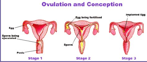how to know when your ovulating