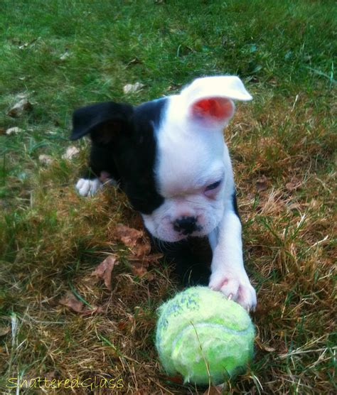 miniature boston terrier puppies for sale in ohio bulldog boston terrier mix puppies for sale in ohio breeds picture