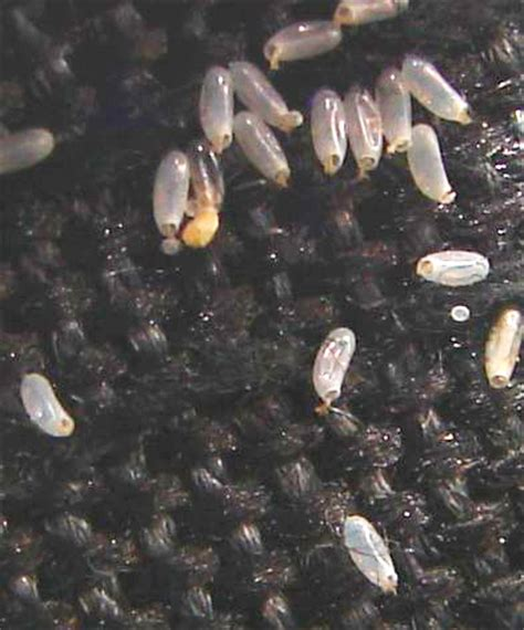 how often do bed bugs lay eggs bed bug information for fire departments cobbtf
