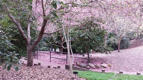 Botanical Garden Cherry Blossom Cherry Blossom Time In Japanese Garden Infebruary Yelp