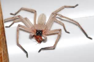 Spider Prices File Huntsman Spider With Meal Jpg The Free