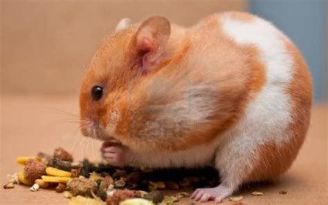 Makanan Hamster Dan Hewan Pengerat Biji Bunga Matahari 400grm makanan yang baik dan yang harus dihindari untuk hamster all about betta fish