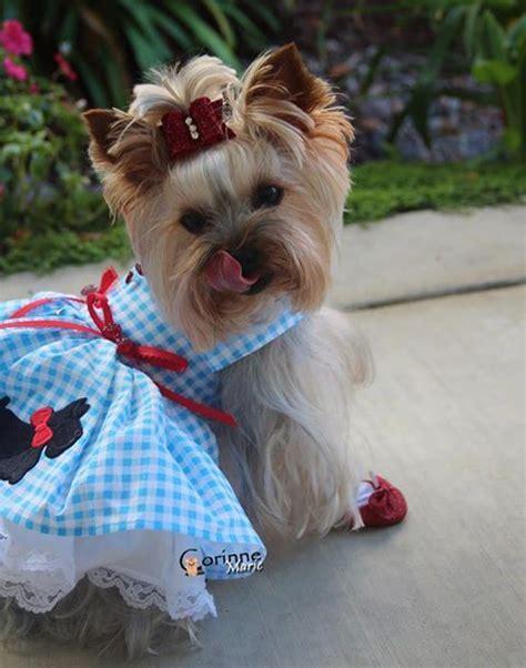 mens yorkie socks 88 best terrier puppies images on