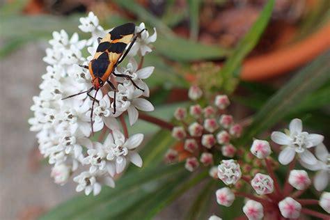 Caterpillar Predator monarch caterpillar predators beneficial insects aren t
