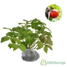Jual Bibit Pohon Blackberry jual bibit tanaman blueberry 50 60 cm hidup bibitbunga