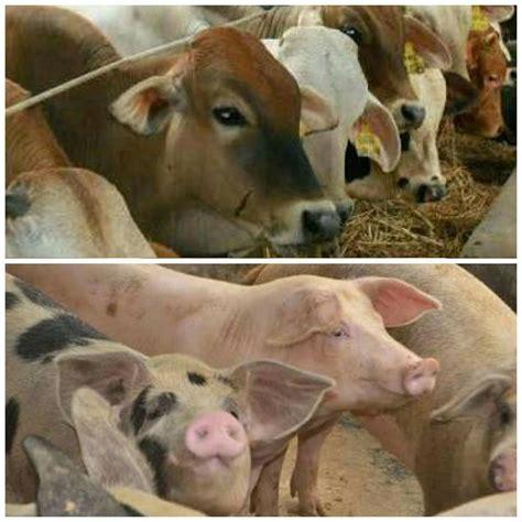 Bibit Sapi Ternak tahun 2017 bpbrt fokus ke ternak babi dan sapi perah