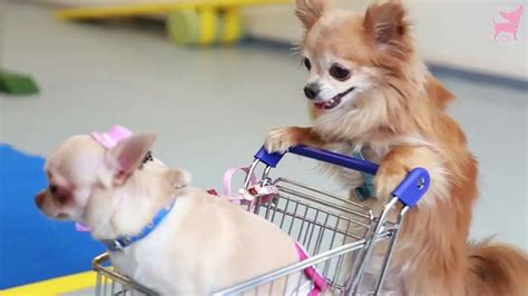how many puppies does a chihuahua how many chihuahuas does it take to push a shopping cart chihuahua buzz