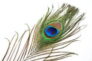 Picture Of Peacock Feather Peacock Feathers Shamanic Drum