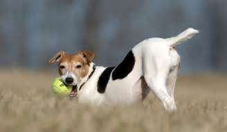 Jack russell terrier photos and wallpapers the beautiful jack russell