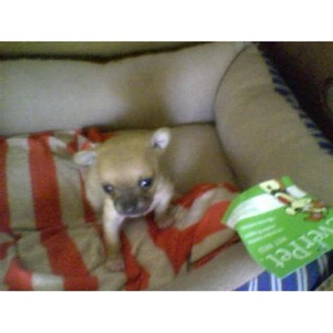 free teacup chihuahua puppies in nc chihuahua breeders in carolina freedoglistings