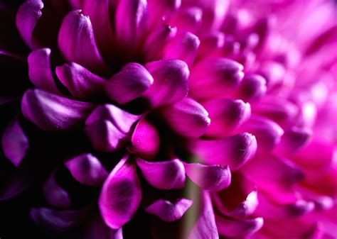 fiore meaning dahlia flower meaning flower meaning