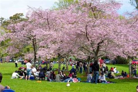 10 facts about cherry blossoms fact file
