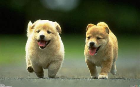 puppy running puppies running wallpaper 10695 open walls
