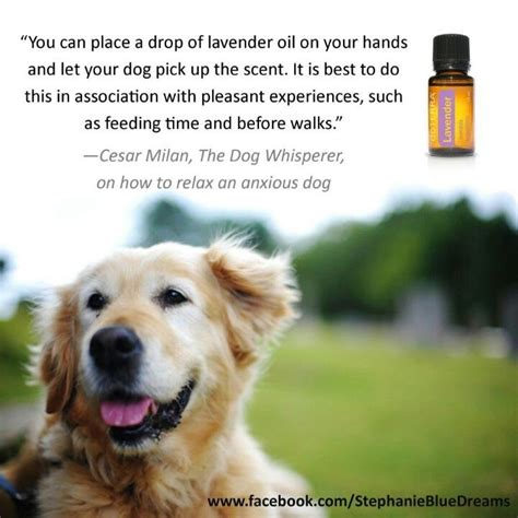 lavender on dogs 78 images about doterra for animals on for dogs lavender and pets