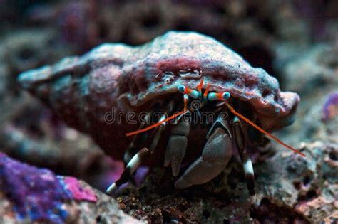 hermit crab heat l dwarf zebra hermit crab calcinus laevimanus stock photo