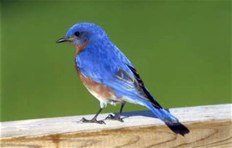 Attract Bluebirds Your Backyard by 36 Best Images About Birds On Northern