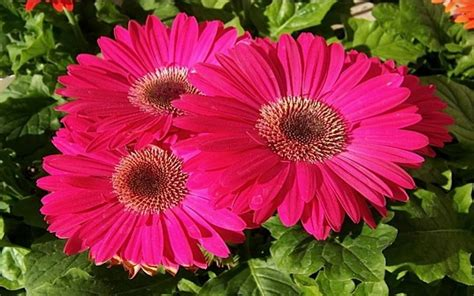 gerber daisies light pink daisies wallpaper light pink gerbera daisy pink