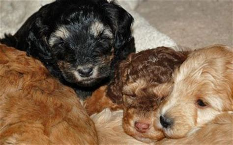 f1b mini goldendoodle puppies for sale best 25 mini goldendoodle breeders ideas on goldendoodle breeders