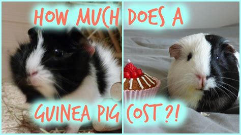 how much does a guinea pig cost monthly initial costs youtube
