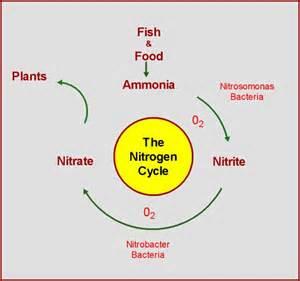 aquaponic gardening aquaponic gardening nitrogen cycle explained