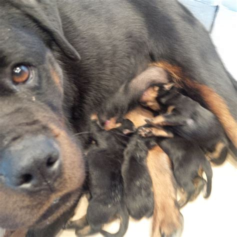 rottweiler for sale big kennel rottweilers breeds picture