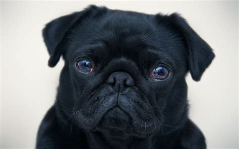 Black Pug In Costume Wallpaper