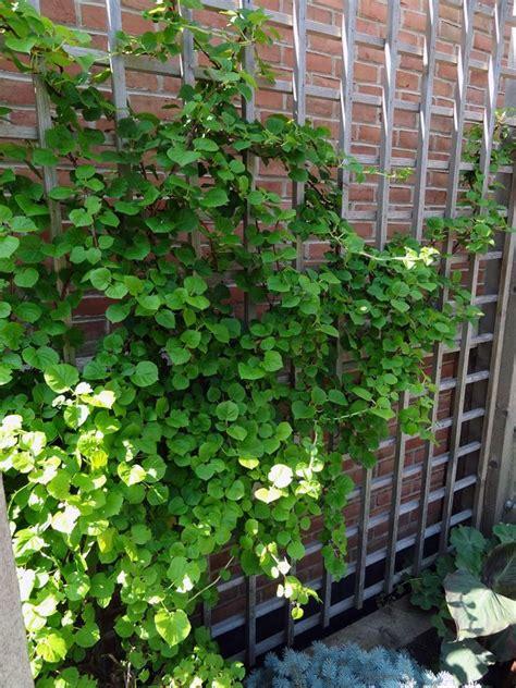 Climbing Hydrangea Trellis climbing hydrangea gardening