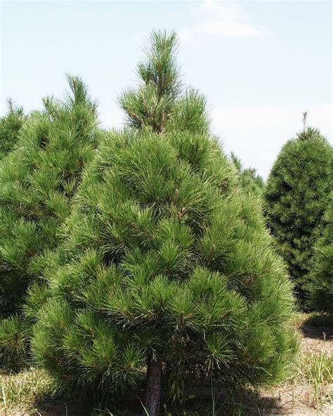 top traditional pine tree images pine pine tree trees different