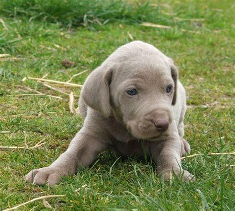 weimaraner puppy puppy gallery pictures