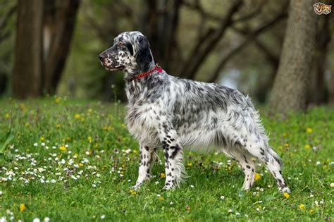 english setter dog wiki english setter dog breed information buying advice